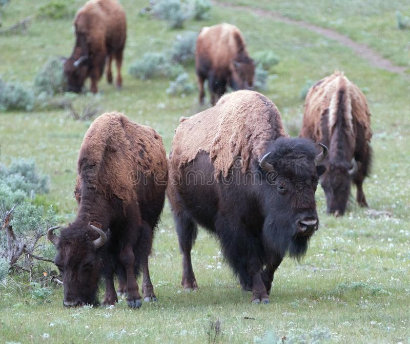 Buffel Bison Herd i Lamar Valley i den Yellowstone nationalparken i Wyoming USA arkivbild