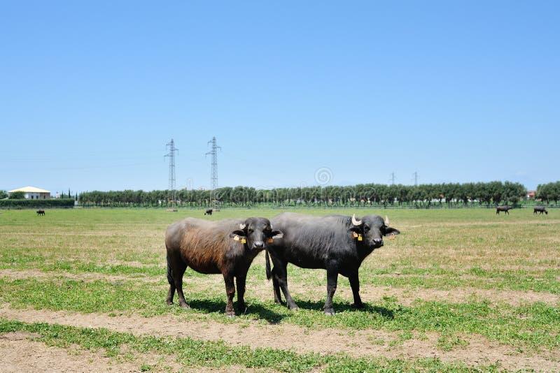Buffel för två italienare i ett fält royaltyfri foto