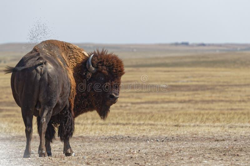 Buffel i badlandsna fotografering för bildbyråer