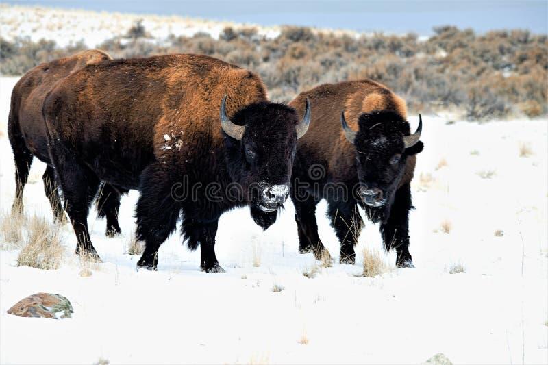 Buffel i snön royaltyfri bild