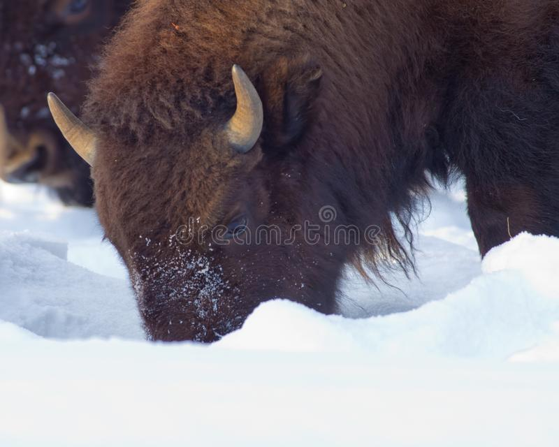 Buffel på den Yellowstone nationalparken i den kolossala vintertiden - royaltyfri foto