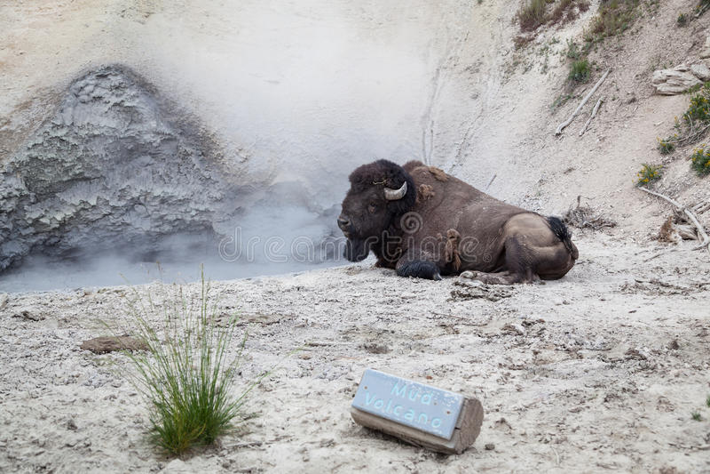 Buffel på gyttjavulkan fotografering för bildbyråer