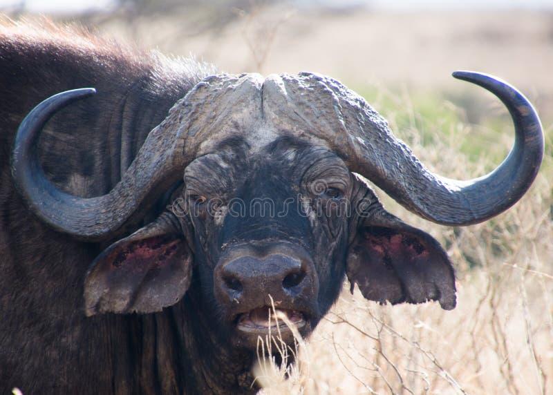 Buffel på nära område royaltyfria bilder