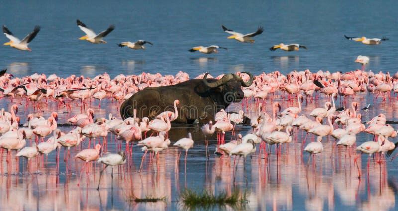 Buffel som ligger i vattnet på bakgrunden av stora flockar av flamingo kenya _ Nakuru National Park Sjö Bogoria Nationa fotografering för bildbyråer