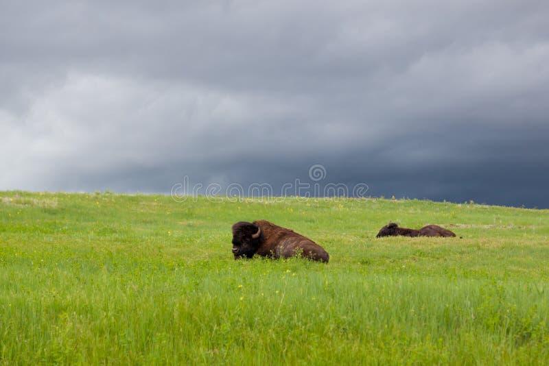 Buffel som två vilar på en backe fotografering för bildbyråer