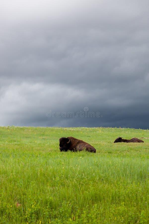 Buffel som två vilar på en backe arkivbild