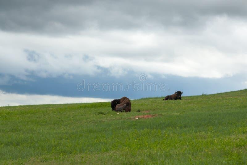 Buffel som två vilar på en backe arkivfoto