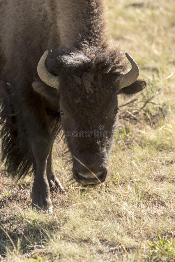 Buffelbison i den Yellowstone nationalparken royaltyfri fotografi