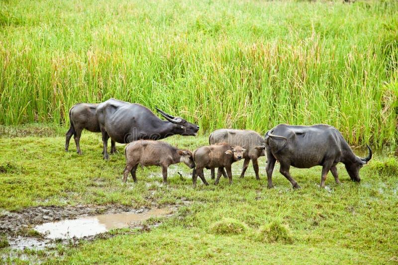 buffelfamilj royaltyfria bilder