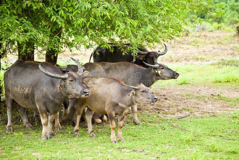 buffelfamilj royaltyfria foton