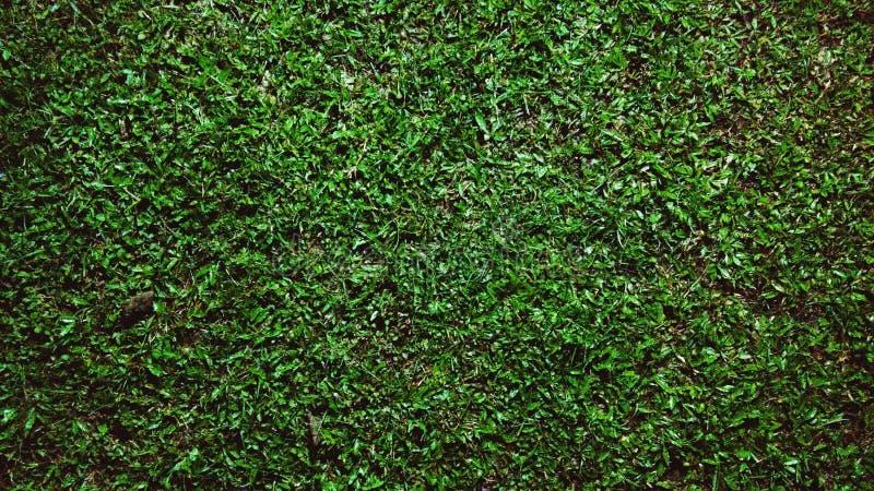 Buffelgräs fotografering för bildbyråer