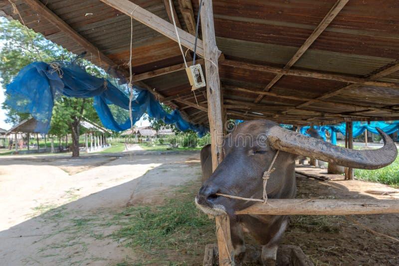 Buffellantgård på Suphanburi, Thailand Augusti 2017 arkivbilder