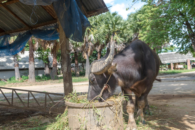 Buffellantgård på Suphanburi, Thailand Augusti 2017 royaltyfri foto