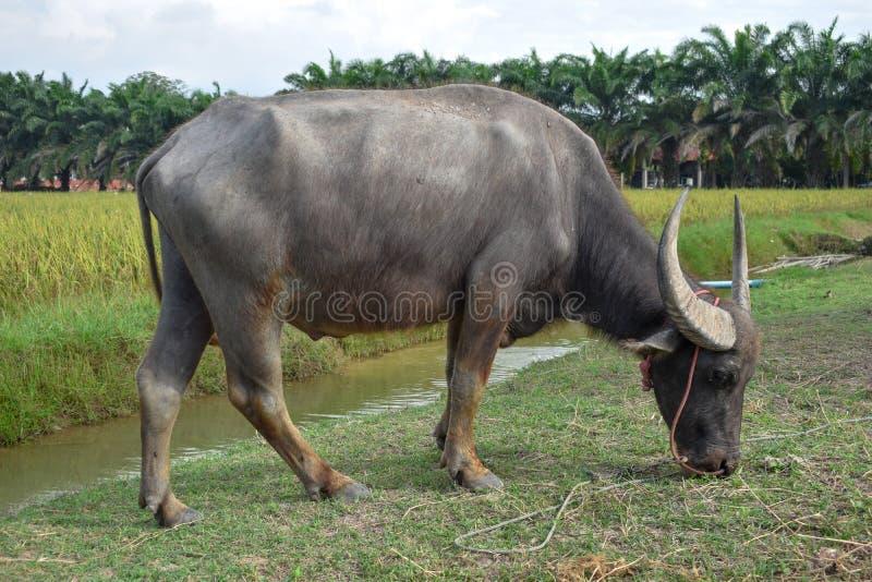 Buffeln äter gräs längs kanalen Risfält och träd är bakgrunden royaltyfri bild