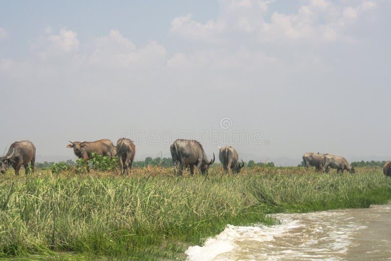 Buffeln åt gräs i jordbruksmark och anseendet i sidan av floden, Mrauk u Myanmar arkivbilder