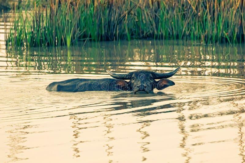 Buffeln spelade i morgonen Buffel som går, blötande vatten som förminskar värme royaltyfria bilder