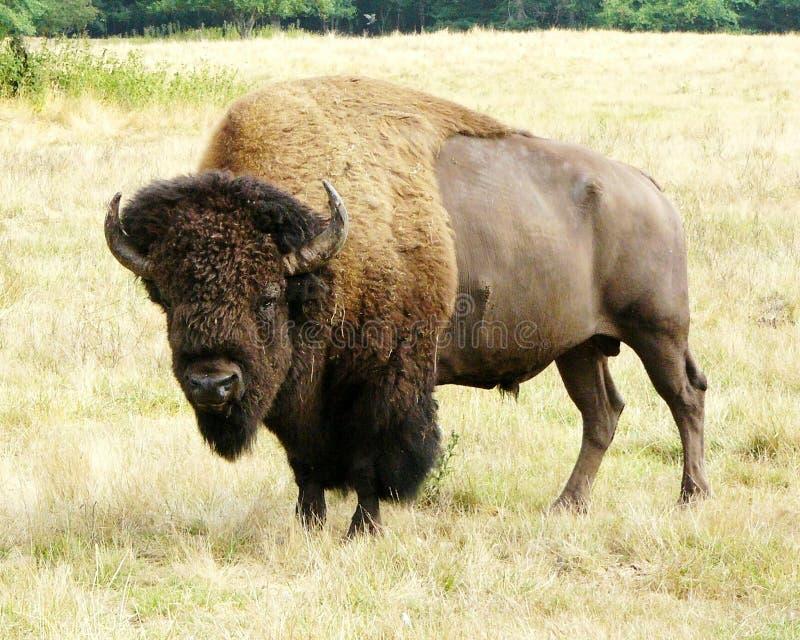 Buffels royalty-vrije stock afbeelding