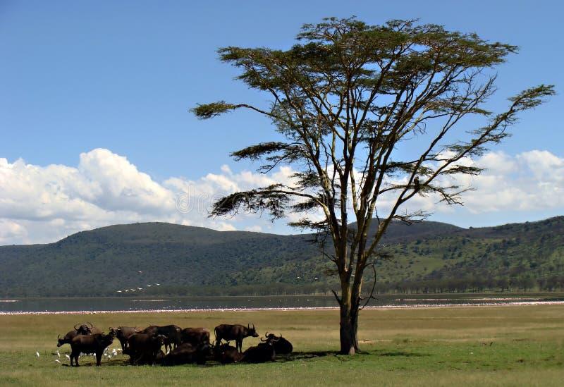 Buffels bij Meer Nakuru stock foto