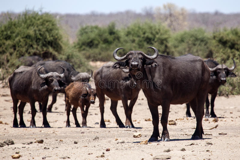 Buffels - Chobe N P Botswana, Afrika stock afbeeldingen