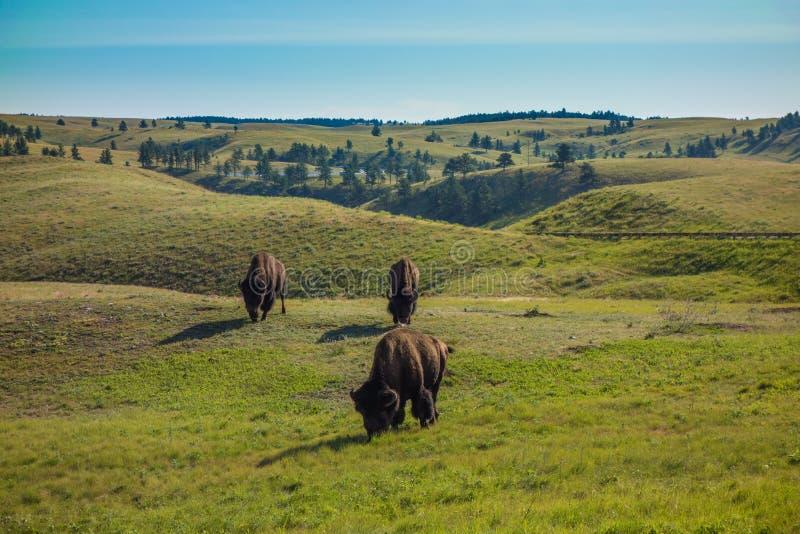Buffels, Custer State Park, Custer, BR royalty-vrije stock foto's