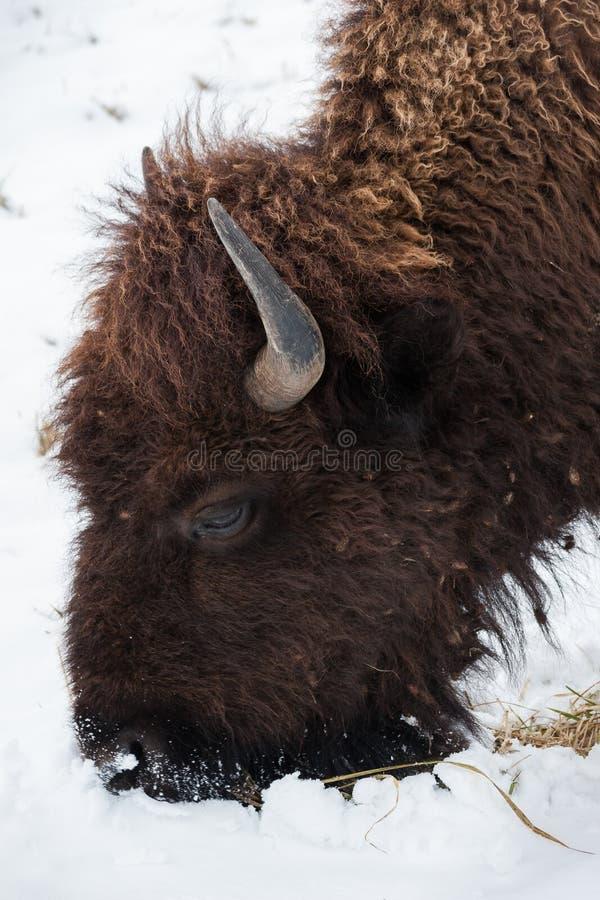Buffels in de sneeuw stock foto