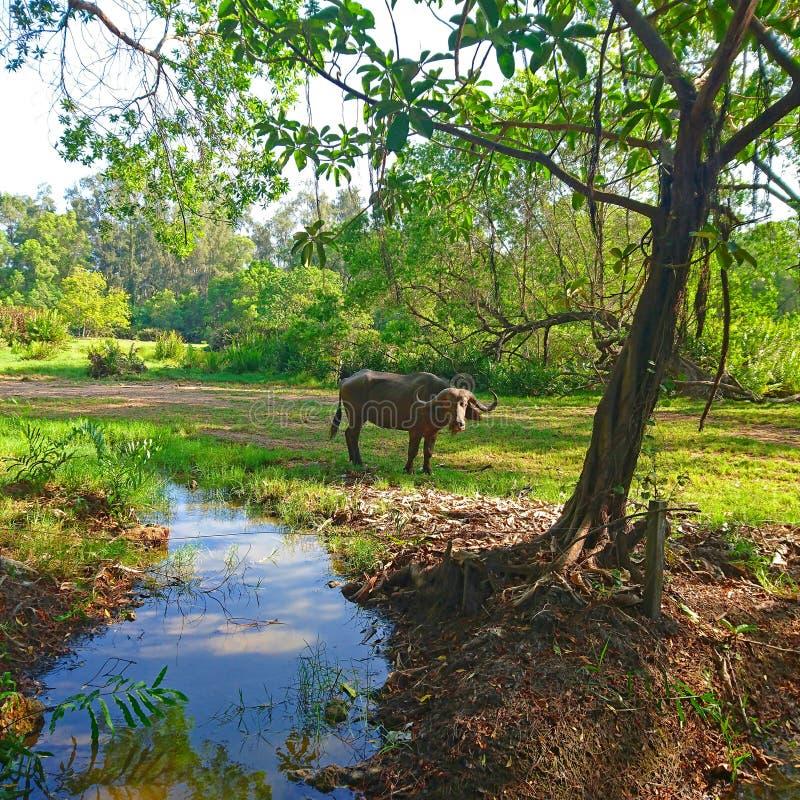 Buffels in de wildernis worden bevlekt die royalty-vrije stock foto's