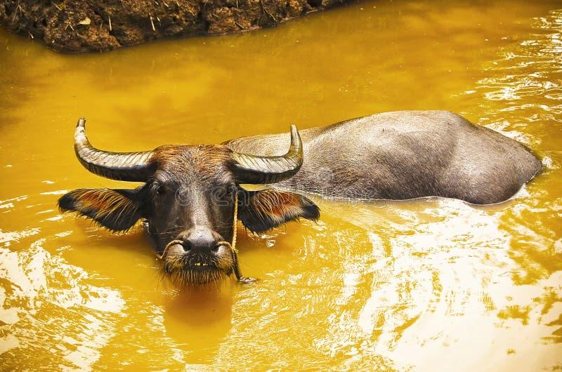 Buffels die bij riverbank worden gebonden stock foto