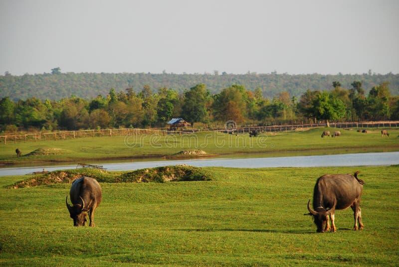 Buffels die het gras in groene weide eten dichtbij de rivier royalty-vrije stock fotografie