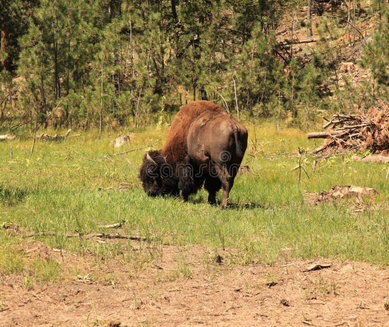 Buffels die langs de naaldenweg weiden stock fotografie