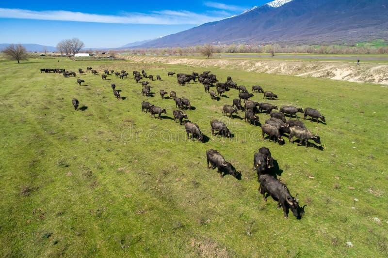 Buffels die naast de rivier Strymon in Noordelijk Griekenland weiden stock foto's