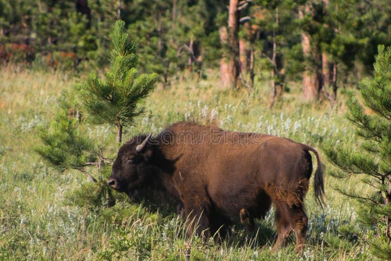 Buffels en Pijnboomboom in Custer State Park South Dakota stock afbeeldingen