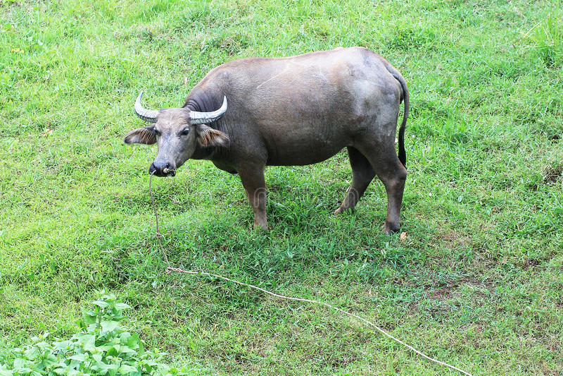 Buffels in het landbouwbedrijf royalty-vrije stock afbeelding
