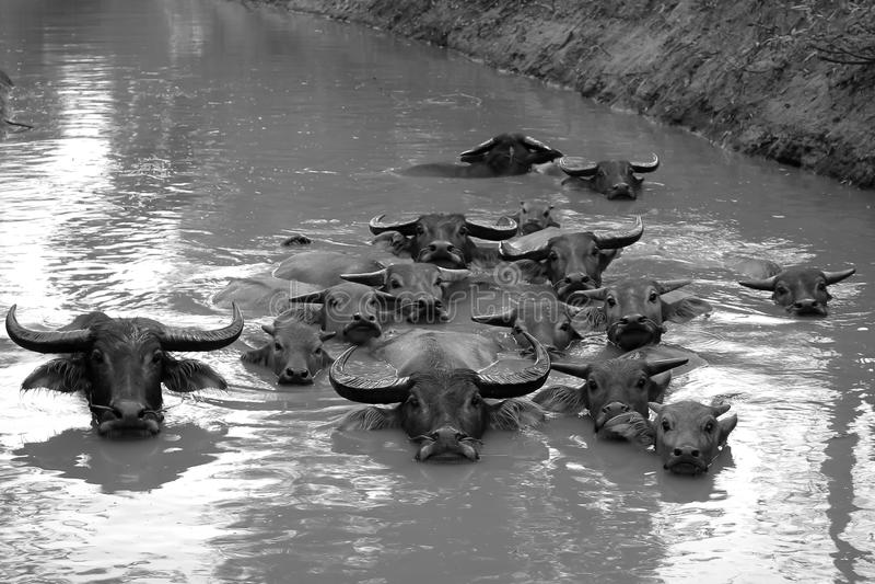 Buffels het zwemmen royalty-vrije stock foto's