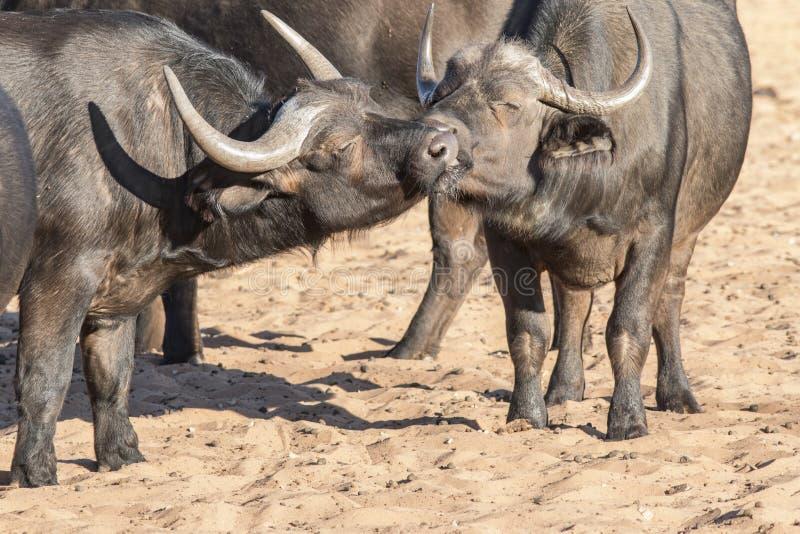 Buffels in liefde stock foto's