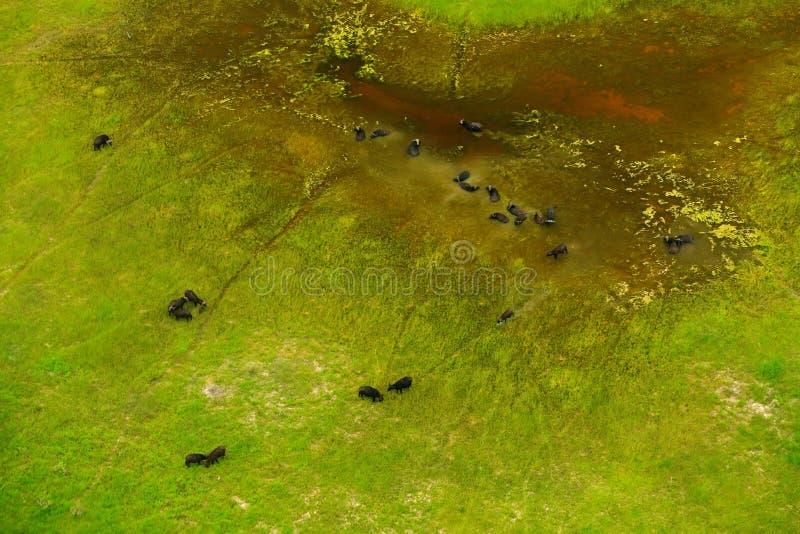 Buffels in luchtlandschap in Okavango-delta, Botswana Meren en rivieren, mening van vliegtuig Groene vegetatie in Zuid-Afrika T stock afbeeldingen