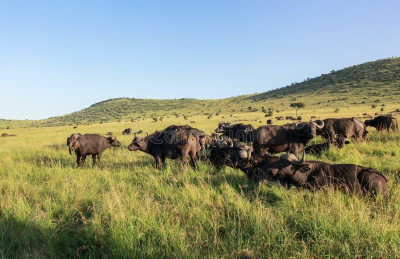 Buffels in Maasai Mara, Kenia royalty-vrije stock afbeeldingen