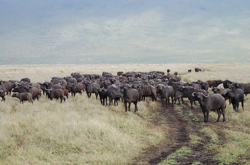 Buffels - Ngorongoro-Krater - Tanzania stock foto's
