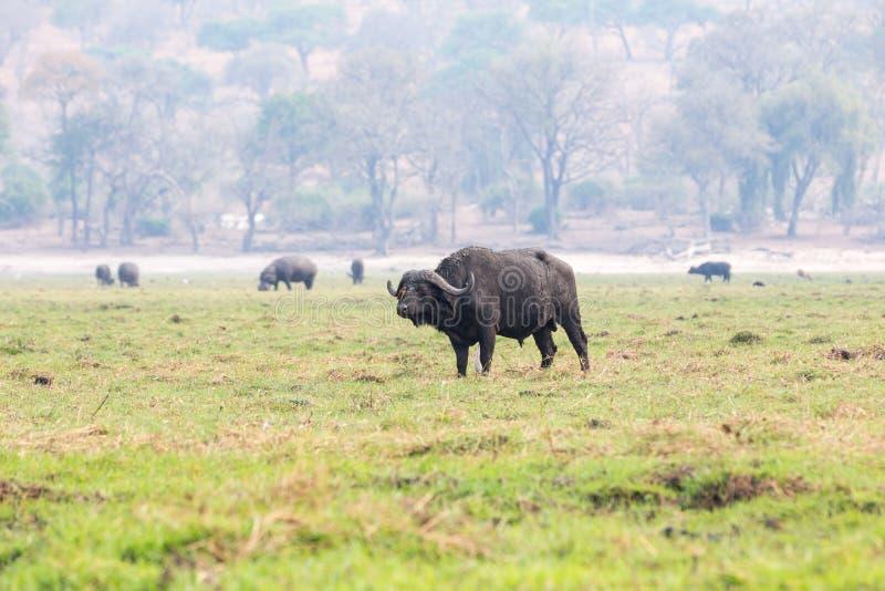 Download Buffels Op Een Eiland In De Chobe-Rivier Stock Foto - Afbeelding bestaande uit openlucht, benen: 54083946