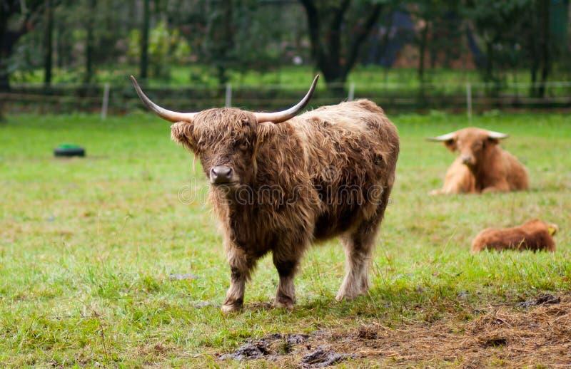 Buffels op een gebied royalty-vrije stock afbeeldingen