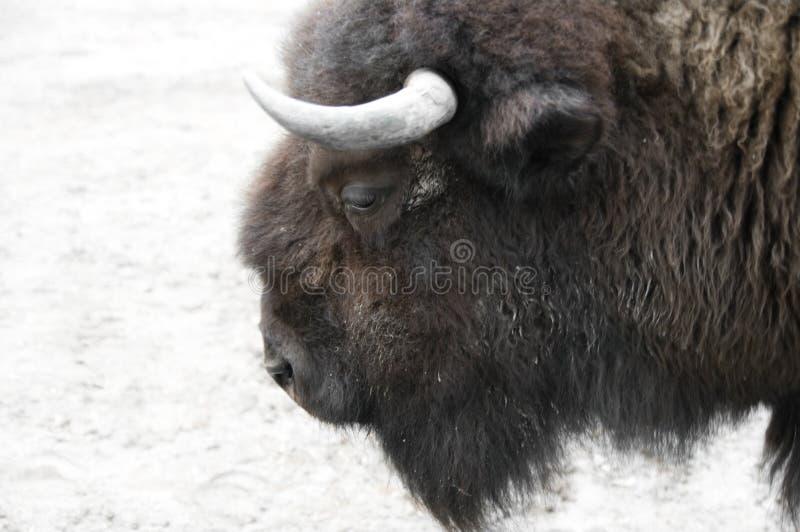 Buffels op een sneeuw stock fotografie