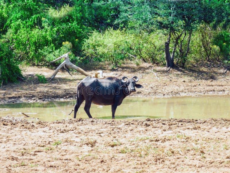 Buffels op gebied dichtbij het meer, Weergeven van het nationale park van Yala, beroemdste wild het levenspark van Sri Lanka royalty-vrije stock afbeeldingen