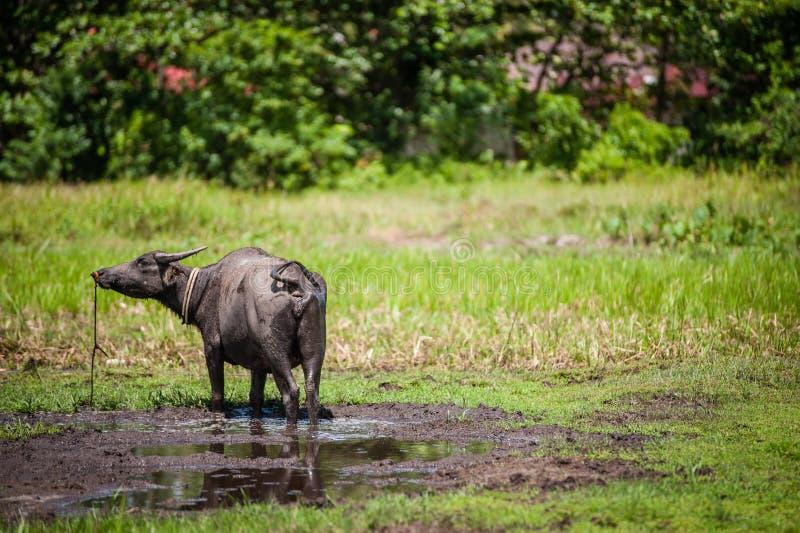 Buffels op modderig gebied stock afbeeldingen
