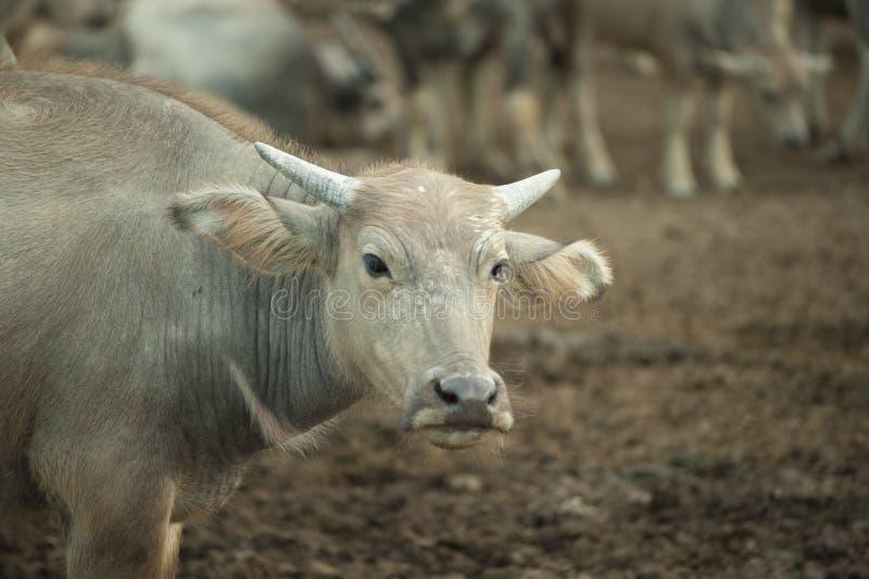 Buffels in schuilplaats Azië royalty-vrije stock afbeelding