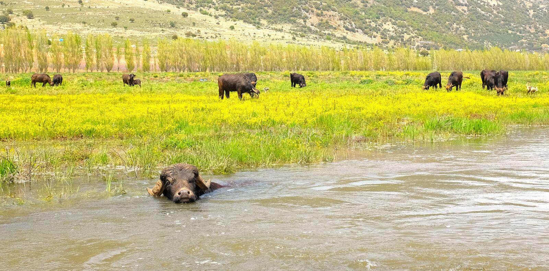 Buffels in water royalty-vrije stock afbeelding