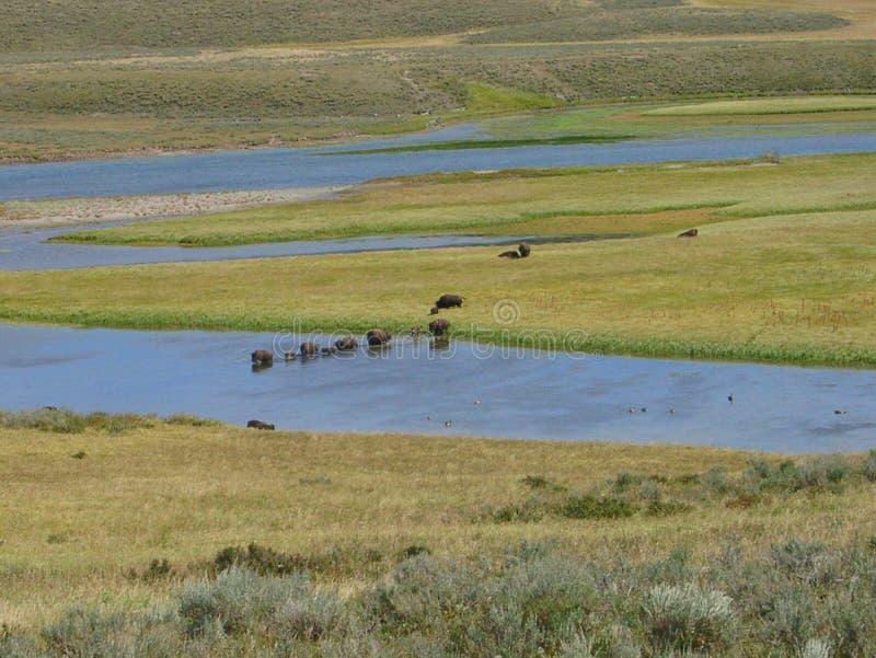Buffels in Yellowstone stock fotografie