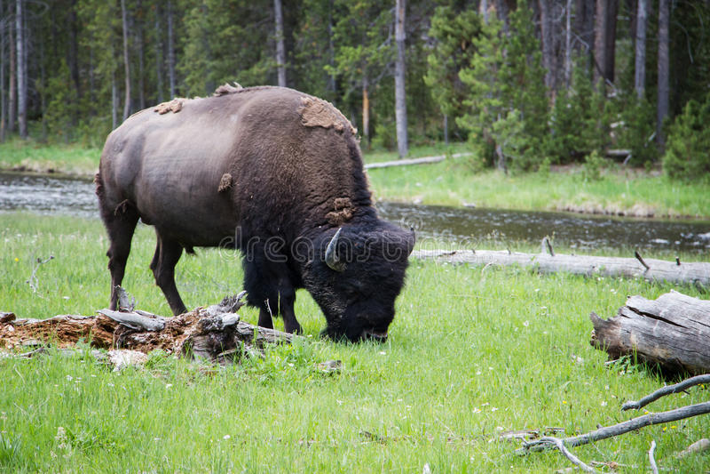 Buffels in Yellowstone stock afbeelding