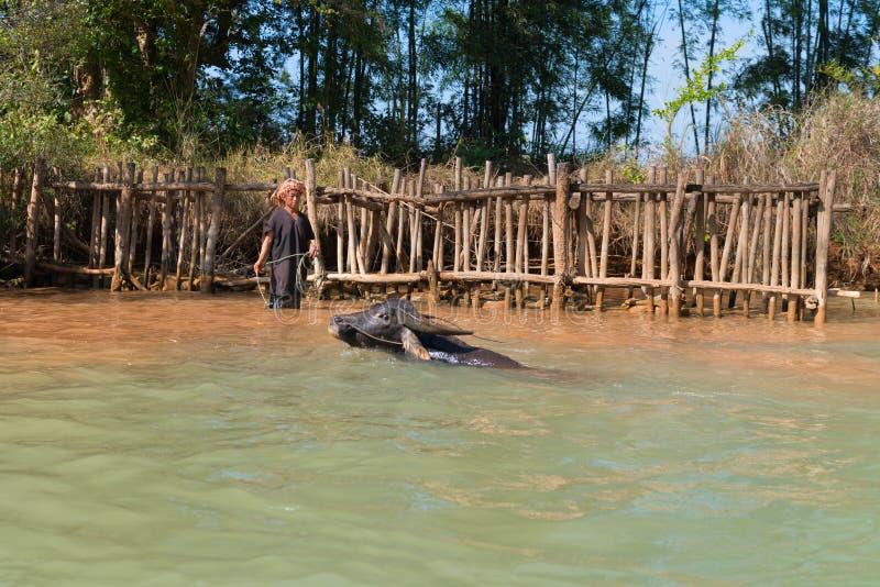 Buffelsimning i kallt vatten fotografering för bildbyråer