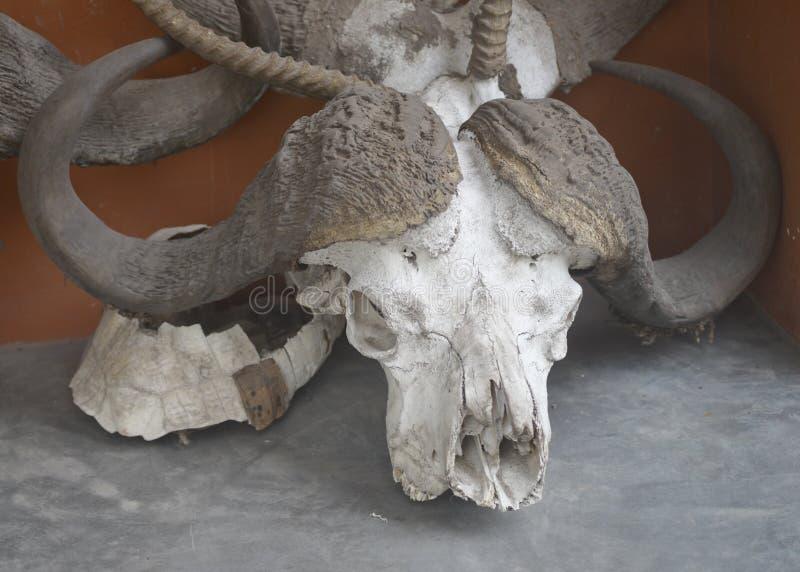 Buffelskalle royaltyfri fotografi