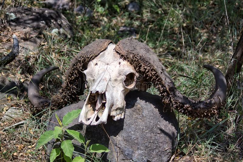 Buffelskalle arkivfoto