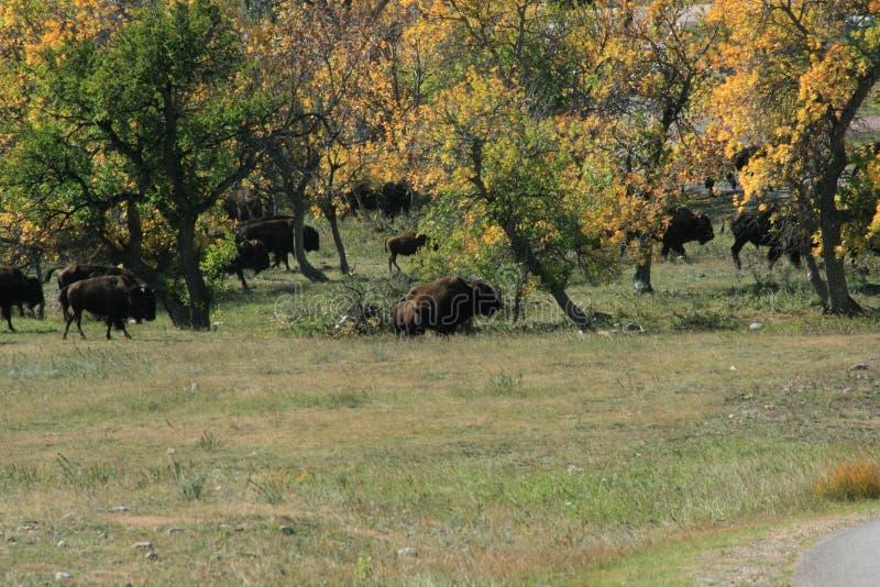 Buffelslooppas, Custer, Zuid-Dakota royalty-vrije stock foto